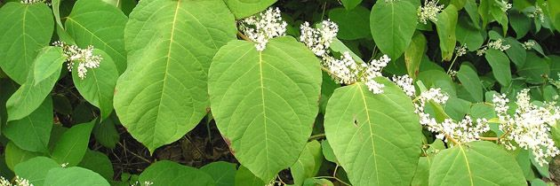 Resveratrol from Japanese Knotweed