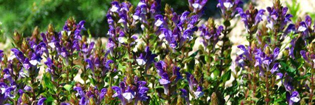 Scutellaria_baicalensis