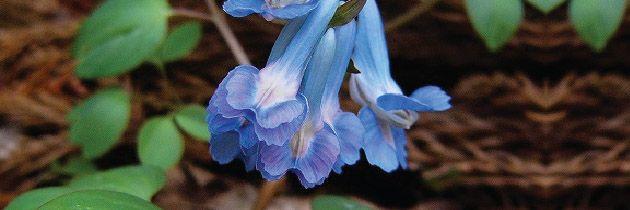 Corydalis (C. yanhusuo, C. ambigua)