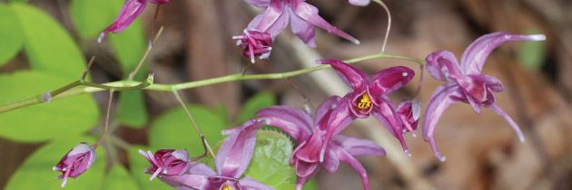 Epimedium (E. grandiflorum)
