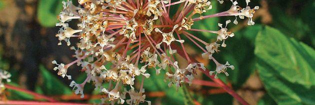 Red Root (Ceanothus americanus)