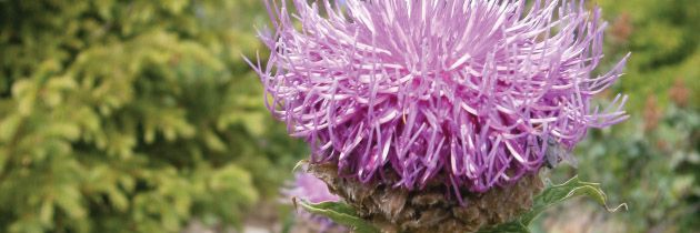 Rhaponticum (R. carthamoides)