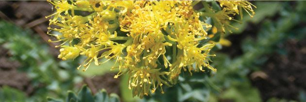 Rhodiola (Rhodiola rosea)