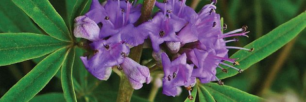 Vitex agnus-castus (chaste tree berry)