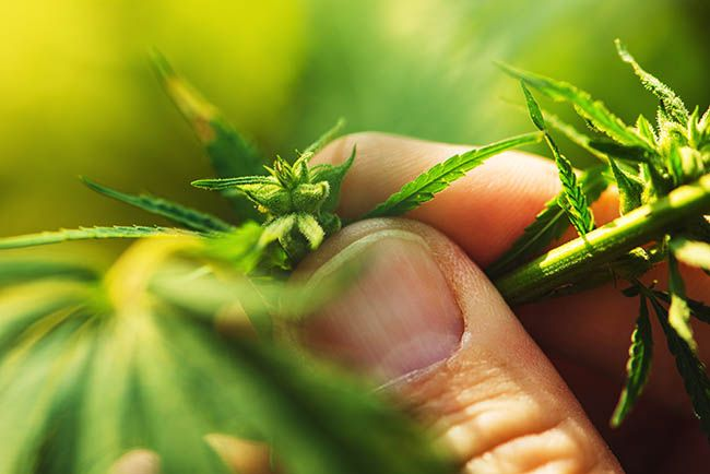 Farmer examining the flower, seeds, and leaves of a cannabis plant