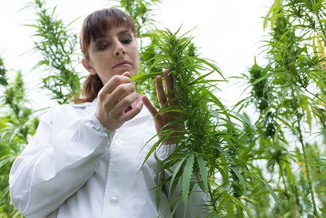 Scientist testing the various parts of a hemp plant