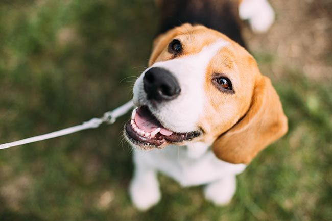Beautiful Tricolor Puppy Of English Beagle Sitting On Green Grass, attached to a leash and outside.