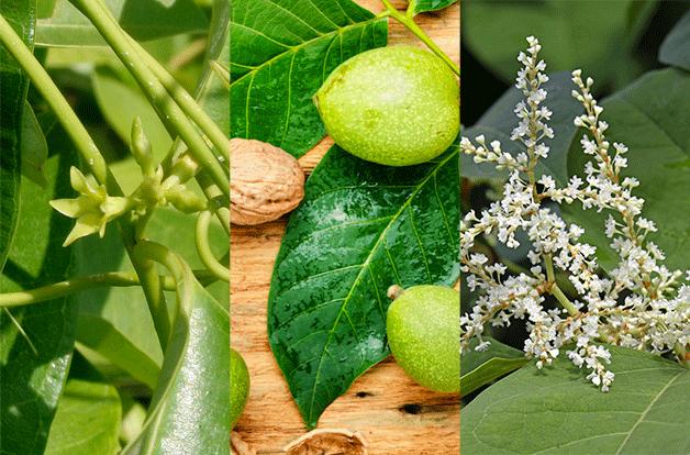 image split into three. Cryptolepis, black walnut, and japanese knotweed