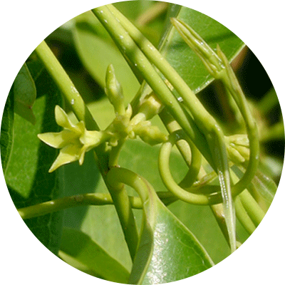green Crytopleptis leaves and flower