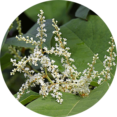 Japanese Knotweed with white flower blooms
