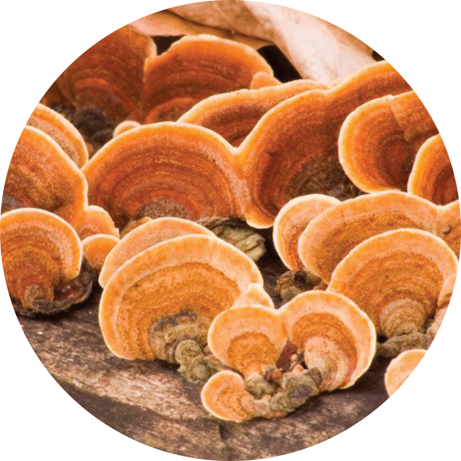 orange reishi mushrooms