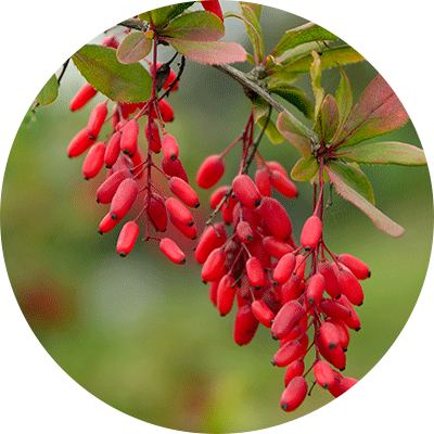 red berberine berries hanging from steam