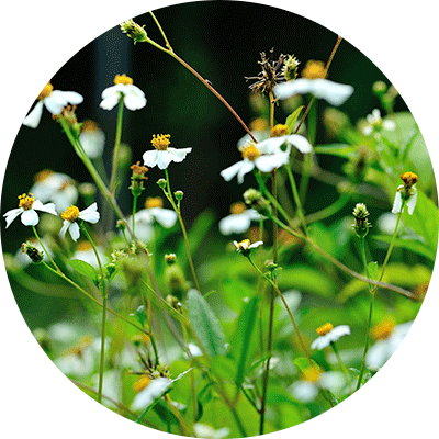group of white bidens flowers growing on stems