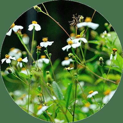 white Bidens flowers