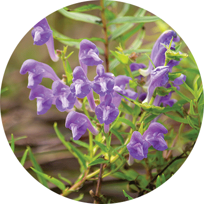 purple chinese skullcap flowers