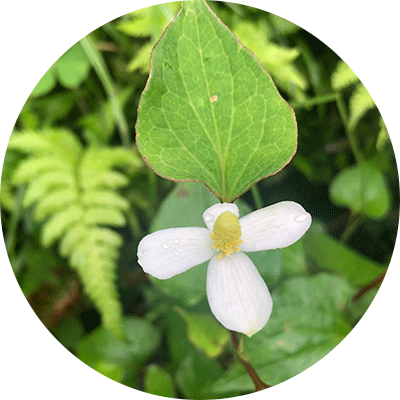 white Houttuynia flower on green leaves