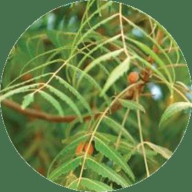 green neem leaves on stem